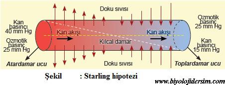 starling hipotezi