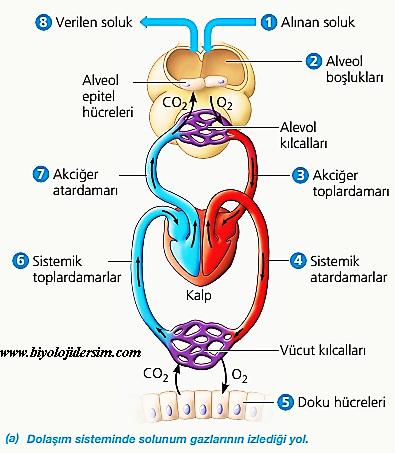 solunum gazlarının dolaşımda izlediği yol