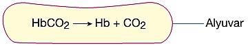 karbondioksit alveol kılcallarında taşınması