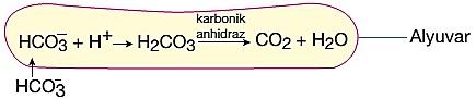 karbondioksitin bikarbonat şeklinde taşınması