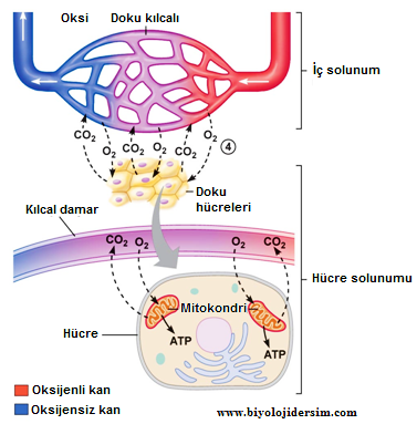 iç solunum ve hücre solunumu