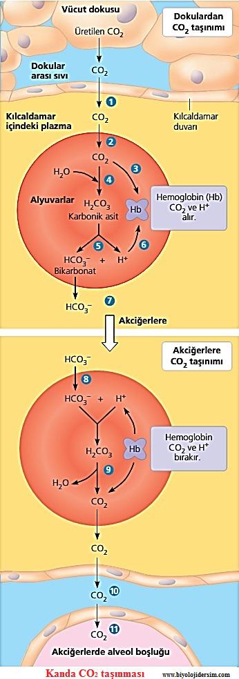 karbondioksitin alveollere taşınması