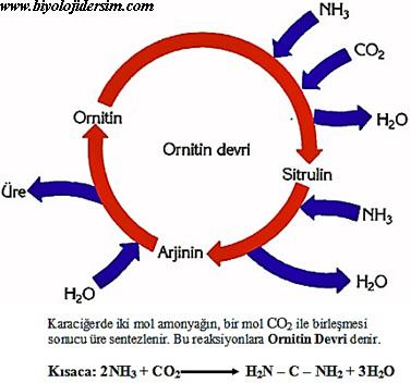 ornitin döngüsü