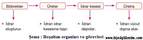boşaltım- üriner sistem şema